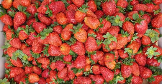 תמונה של קטיף תותים עצמי